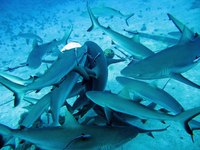 6/64/640b91a0_shark-feeding-frenzy-from-icisdotcom.jpeg