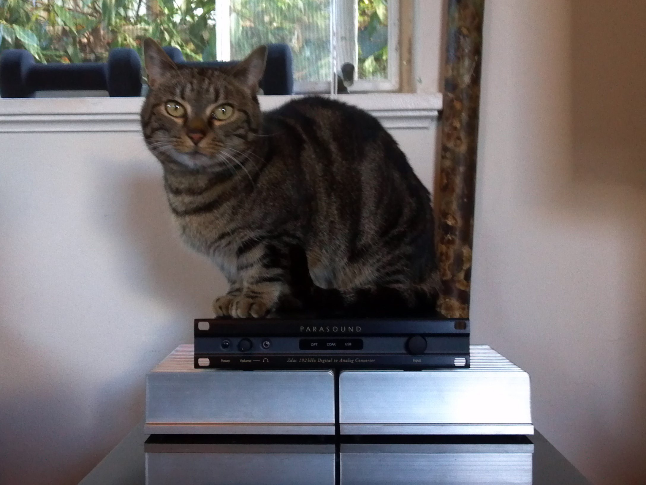 My munchkin cat on top of my Zdac !